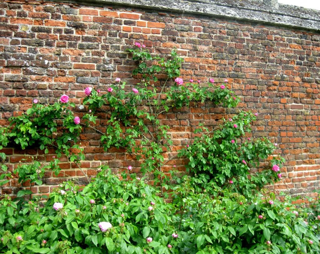 Hampton Court Roses
